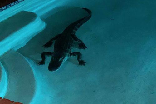 Chú cá sấu do cô Kerri Kibbe ở Florida phát hiện trong bể bơi nhà mình.