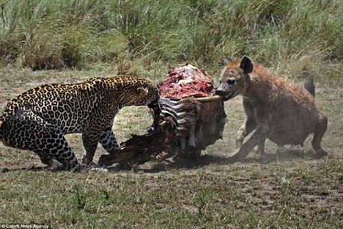 Báo đốm đấu linh cẩu giữ mồi ngon và cái kết