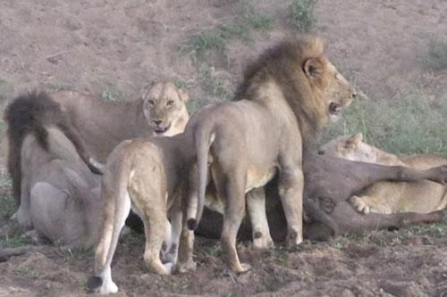 Đàn sư tử tóm gọn trâu rừng.