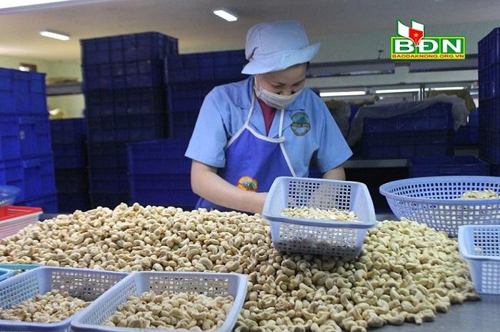 Các công ty sản xuất hạt điều xuất khẩu ở Đắk Nông đang gặp khó vì bị ảnh hưởng bởi dịch Covid-19 (Ảnh: Báo Đắk Nông)