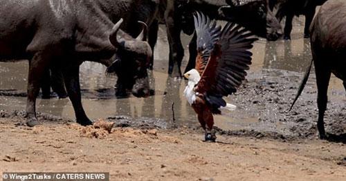 Đại bàng vừa cướp được mồi thì bị trâu rừng đe doạ.