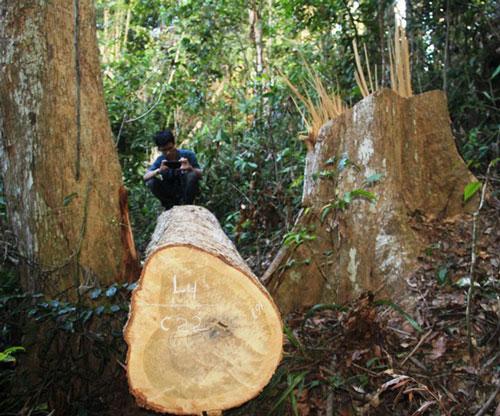 Nhiều cây gỗ dổi to ở khu rừng tự nhiên huyện Vĩnh Thạnh bị đốn hạ không thương tiếc.