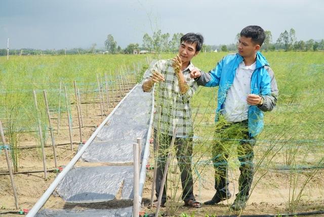 Ngoài nuôi thỏ, HTX còn có 1ha trồng măng tây xanh