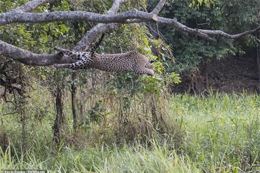 Mới đây, nhiếp ảnh gia động vật hoang dã Kevin Dooley đã chụp được bộ ảnh một chuyến đi săn của báo đốm và quá bất ngờ khi con mồi của nó là một con cá sấu chưa trưởng thành.