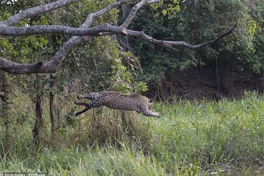 Những hình ảnh được chụp bên bờ sông ở Pantanal, Brazil. Khác với châu Phi, cá sấu ở đây có thể là con mồi của trăn Anaconda hoặc báo đốm chứ không phải loài vật bất khả chiến bại.