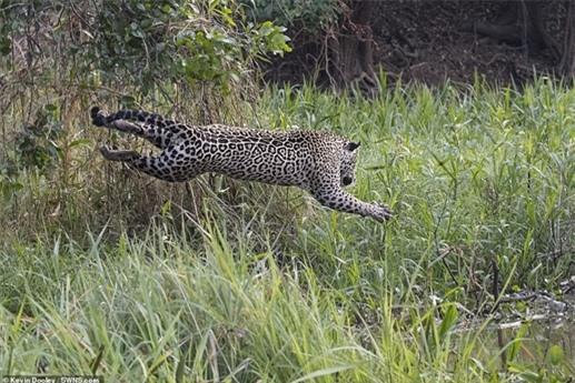 Những hình ảnh ghi lại cho thấy con báo đốm đang nghỉ trên một cạnh cây phía trên mặt nước thì phát hiện ra con mồi. Nó nhanh chóng lao xuống tấn công để tìm bữa ăn cho mình.