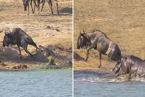 Hà mã xả thân cứu linh dương khỏi hàm cá sấu hung dữ.