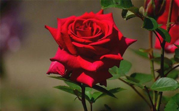 Hoa hồng tốt cho tình yêu đôi lứa