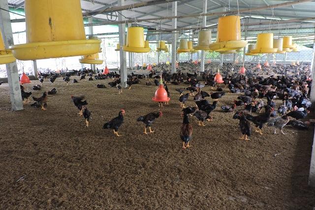 Chăn nuôi VietGAP tuân thủ 31 tiêu chí