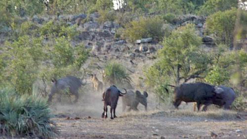 Đàn trâu rừng dũng cảm tấn công sư tử bảo vệ voi con
