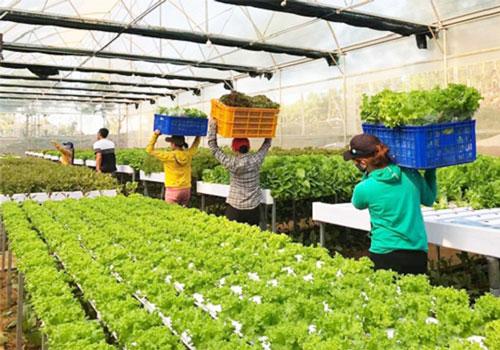 Liên kết giữa doanh nghiệp với HTX, nông dân để tạo vùng nguyên liệu chế biến, xuất khẩu rau quả (Ảnh minh họa: Internet)