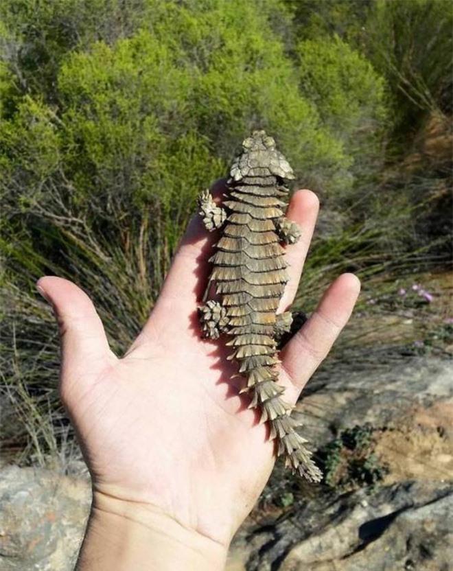Thằn lằn có mai vảy - loài động vật kỳ lạ như những con rồng thu nhỏ - Ảnh 2.