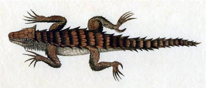 Thằn lằn có mai vảy - loài động vật kỳ lạ như những con rồng thu nhỏ - Ảnh 3.