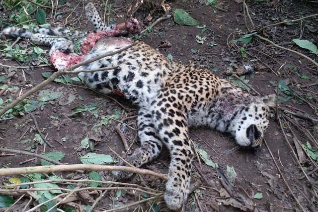 Thi thể của chú báo được tìm thấy gần làng Kodiya Malla.