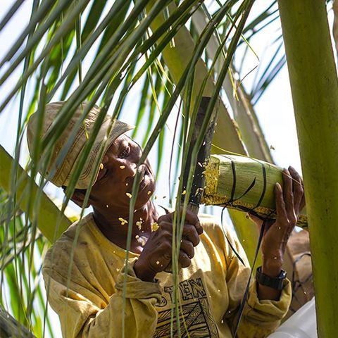 Người nông dân đang làm công đoạn chuẩn bị cho việc lấy mật từ hoa dừa.