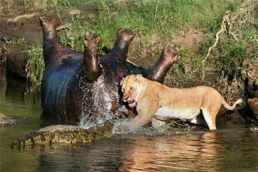 Một cặp đôi sư tử nhìn thấy xác hà mã và quyết định đi một đoạn dài để sang sông tiếp cận.