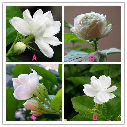 Bạn chọn bông hoa nhài nào?