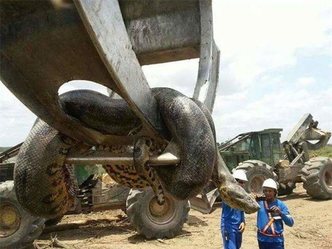 Vì sao gọi trăn Anaconda là 'quái vật' đáng sợ nhất rừng Amazon - ảnh 2