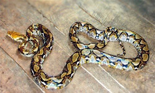 Vì sao gọi trăn Anaconda là 'quái vật' đáng sợ nhất rừng Amazon - ảnh 4