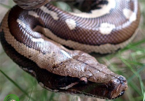 Vì sao gọi trăn Anaconda là 'quái vật' đáng sợ nhất rừng Amazon - ảnh 5