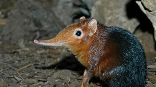 1001 thắc mắc: Vì sao nói Chuột chù nước là loài ăn thịt rất tinh vi? - ảnh 2