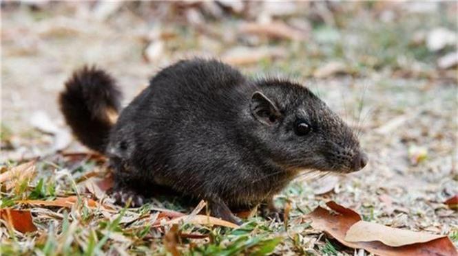 1001 thắc mắc: Vì sao nói Chuột chù nước là loài ăn thịt rất tinh vi? - ảnh 4