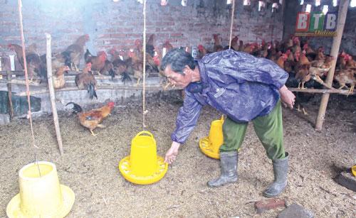 Cùng với chăn nuôi bò, chăn nuôi gia cầm cũng cho gia đình ông Bốn nguồn thu nhập đáng kể.