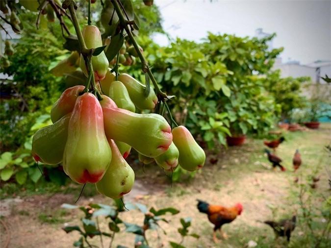 """Thích thú với khu vườn toàn """"hoa quả nhập ngoại"""" của ca sĩ Mỹ Lệ - Ảnh 1."""