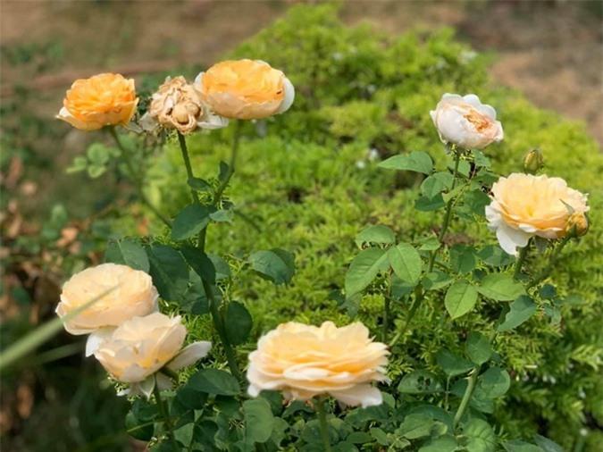 """Thích thú với khu vườn toàn """"hoa quả nhập ngoại"""" của ca sĩ Mỹ Lệ - Ảnh 10."""
