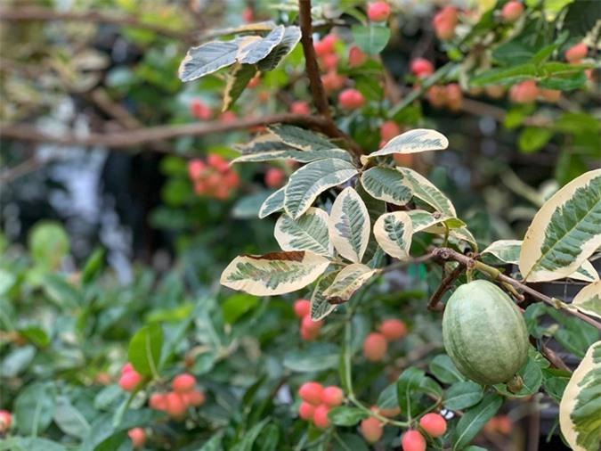 """Thích thú với khu vườn toàn """"hoa quả nhập ngoại"""" của ca sĩ Mỹ Lệ - Ảnh 3."""