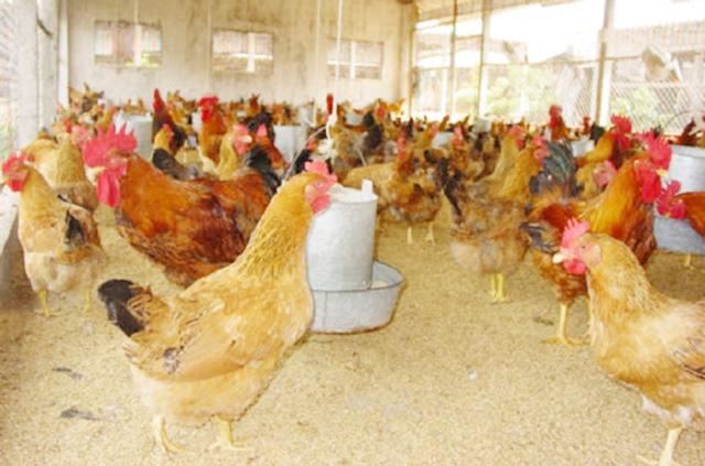 Mô hình nuôi gà mang lại lợi ích kép về kinh tế và ATLĐ