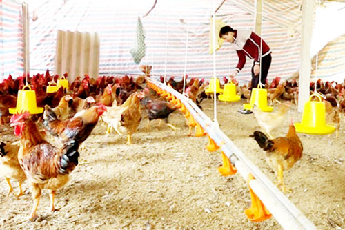 HTX đang thành công lớn với mô hình nuôi gà an toàn sinh học