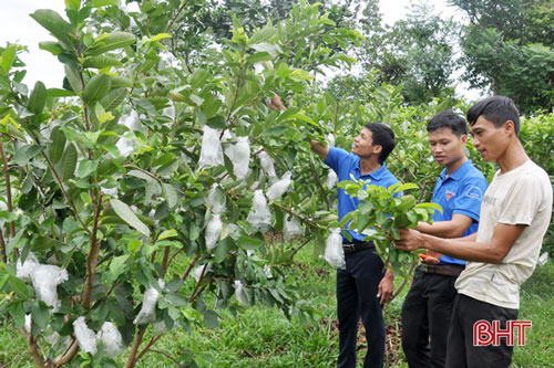 Hiện nay, trang trại của ông chủ trẻ đã có 1.000 gốc ổi Tân Châu