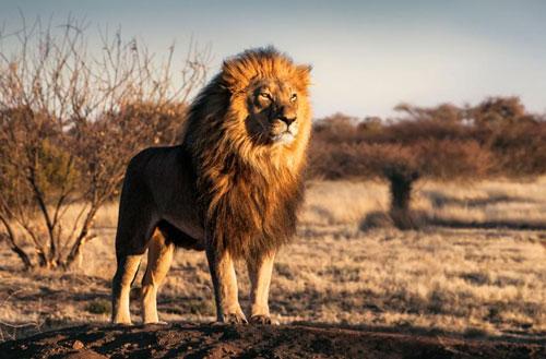 2. Sư tử (trọng lượng cơ thể: 190 kg). Ảnh: Forbes.com.
