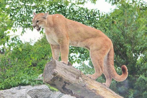 4. Báo sư tử. (trọng lượng cơ thể: 100 kg). Ảnh: lostbird.