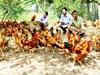 Tây Ninh: Nâng cao thu nhập, bảo vệ môi trường nhờ hợp tác nuôi gà thả vườn