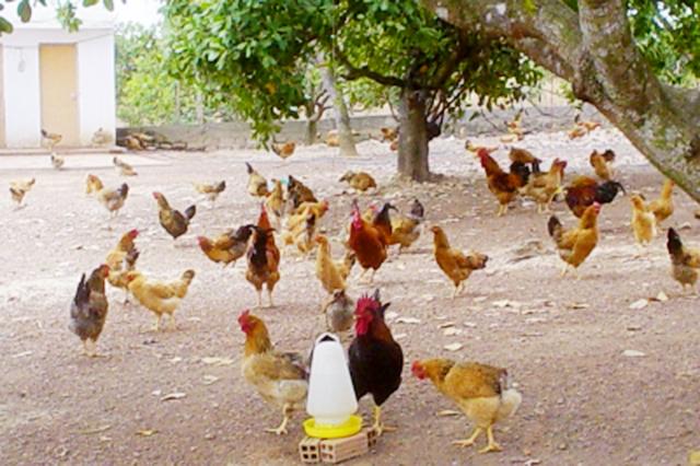 Nuôi gà trên đệm lót sinh học mang lại giá trị kinh tế cao và góp phần bảo vệ môi trường