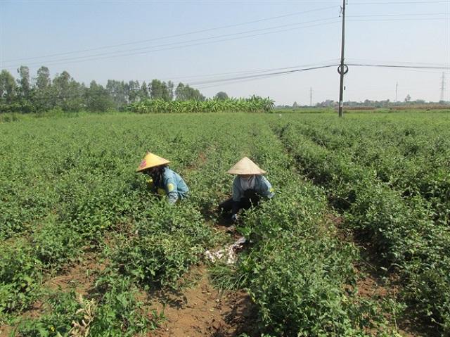 Trồng 1 sào cà gai leo có thể cho thu hoạch 3,4 - 3,6 tạ khô/năm, nếu xuất thô cho công ty dược liệu sẽ có giá từ 40.000 - 50.000 đồng/kg (Ảnh: Internet)