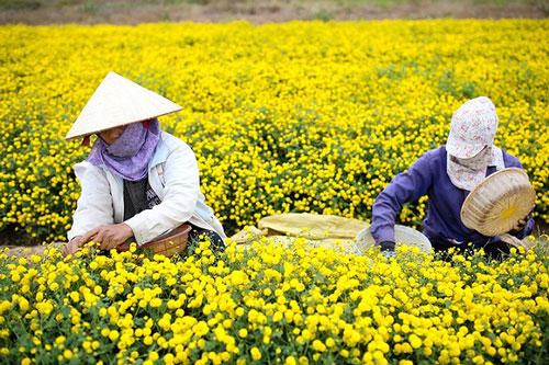 Tỉnh Hưng Yên hiện có gần 850ha trồng cây dược liệu, góp phần không nhỏ vào tăng trưởng ngành nông nghiệp, phát triển kinh tế xã hội (Ảnh: Internet)