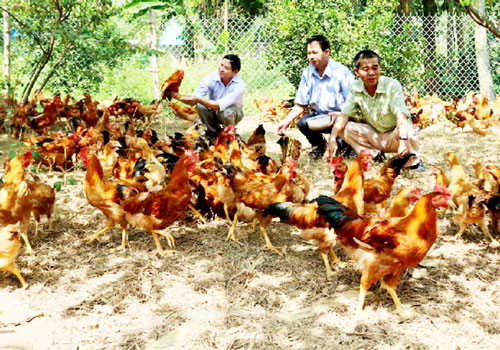THT Đồng Cỏ Đỏ đang phát huy hiệu quả của mô hình nuôi gà sinh học