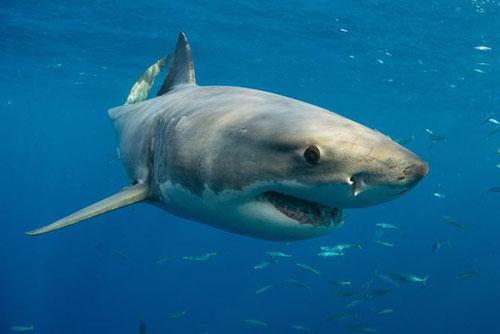 Nữ du khách Pháp bị cá mập tấn công mất hai cánh tay ở biển Thái Bình Dương. Ảnh: AFP.