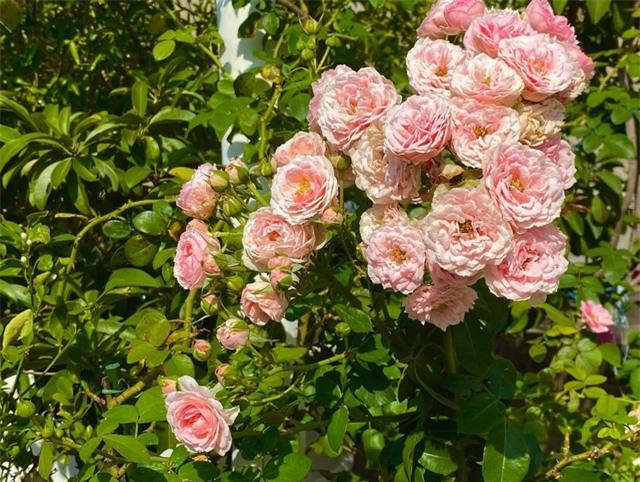 Đã mắt với khu vườn sai trĩu quả, ngập hoa của gia đình MC Quyền Linh - 11