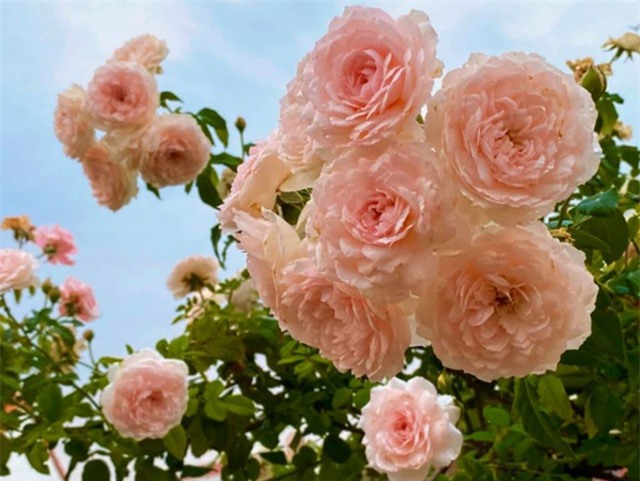 Đã mắt với khu vườn sai trĩu quả, ngập hoa của gia đình MC Quyền Linh - 13