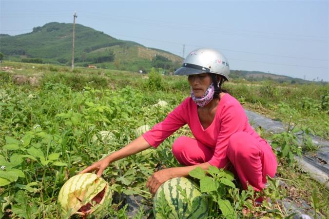 Chị Lành bên ruộng dưa với những trái dưa nứt toát do không ai mua.