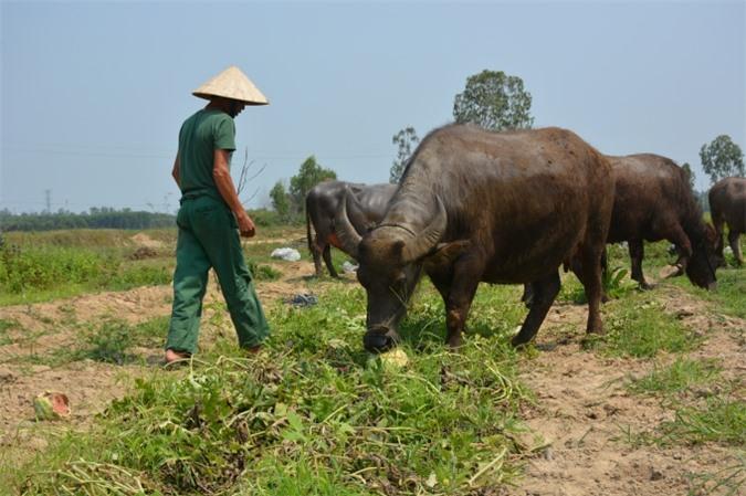 Người dân chán nản vứt bỏ dưa ngay ngoài đồng cho trâu, bò ăn.