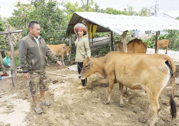 Một hộ đồng bào dân tộc thiểu số trong buôn M'Liêng 2 được ông Quát chuyển giao nuôi bò.