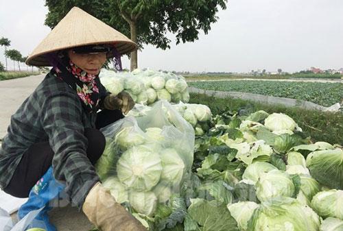 Sản phẩm cải bắp của HTX Tân Minh Đức hiện có mặt tại 17 siêu thị và nhiều bếp ăn tập thể của các doanh nghiệp