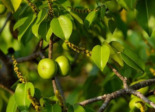 Quả của cây Manchineel là một loại độc chất nguy hiểm nhất thế giới