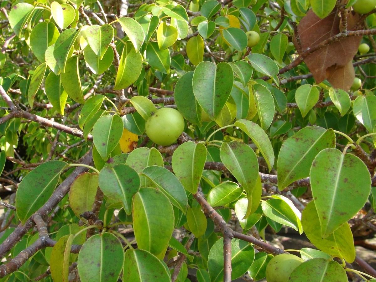 Tuy có mùi rất thơm và có vẻ vô hại, nhưng quả Manchineel cũng ẩn giấu một liều thuốc độc khủng khiếp