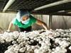 Khánh Hòa: Thành công bước đầu từ trồng nấm hữu cơ theo hướng hiện đại